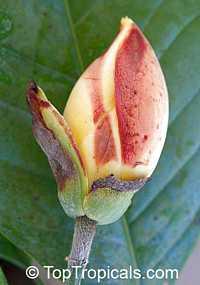 Magnolia liliifera, Talauma candollei, Magnolita, Egg Magnolia  Click to see full-size image