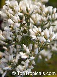 Baccharis halimifolia - Aster Tree, Snow Bush  Click to see full-size image