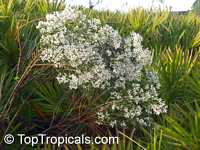 Baccharis halimifolia, Aster Tree, White Cloud Tree, Snow Bush, Eastern Baccharis, Flannel Bush  Click to see full-size image