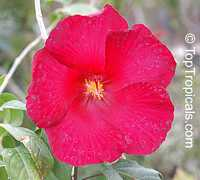 Hibiscus moscheutos, Swamp-rose Mallow, Hardy HibiscusClick to see full-size image