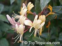 Lonicera japonica, Japanese Honeysuckle, Halls honeysuckle  Click to see full-size image