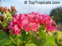 Dombeya x seminole, Tropical Rose Hydrangea  Click to see full-size image