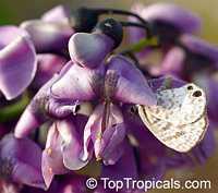 Philenoptera violacea, Lonchocarpus capassa, Capassa violacea, Apple Leaf, Rain Tree, Mupandapanda  Click to see full-size image