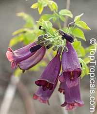 Jacaranda jasminoides Maroon  Click to see full-size image