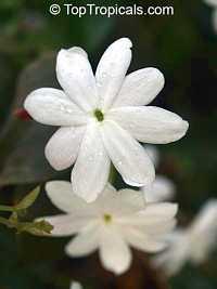 Jasminum Rex, Jasminum Rex  Click to see full-size image