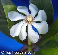 Gardenia gjellerupiiClick to see full-size image