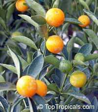 Fortunella japonica, Marumi Kumquat, Round Kumquat, Sweet-peeled Kumquat  Click to see full-size image