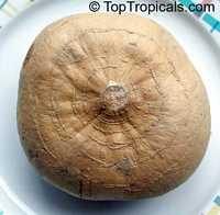 Pachyrhizus erosus, Yam Bean, Jicama  Click to see full-size image