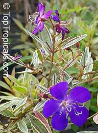 Tibouchina lepidota , Dwarf Princess Flower, Glory Bush, Mayo