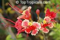 Caesalpinia pulcherrima 'Compton', Poinciana pulcherrima, Pride of Barbados, Pink Dwarf Poinciana, Flower Fence  Click to see full-size image