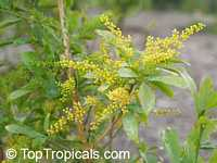 Aglaia odorata var. Gigantea, Giant Rice Flower, Perfume FlowerClick to see full-size image