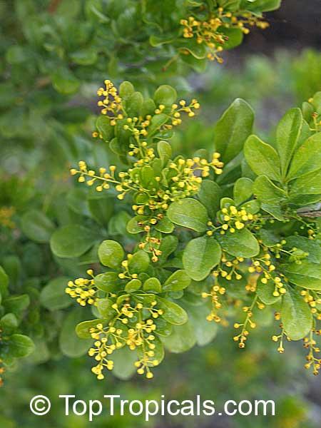 Tropical plant catalog - TopTropicals com
