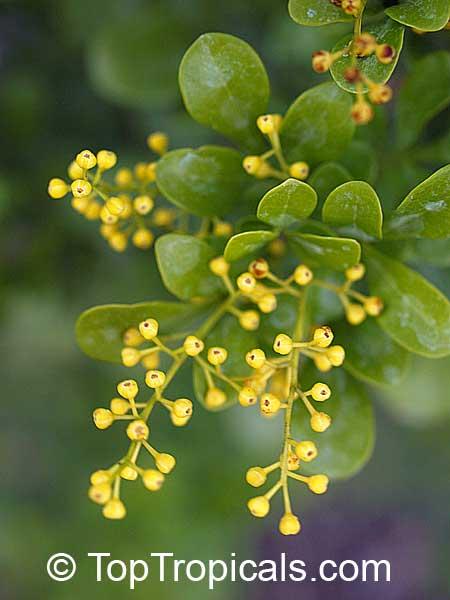 Aglaia Odorata Chinese Perfume Plant Chinese Rice Flower