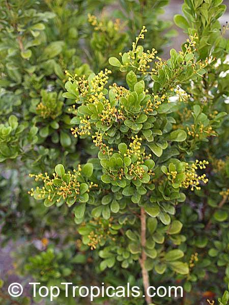 Garden Bush: Aglaia Odorata, Chinese Perfume Plant, Chinese Rice Flower
