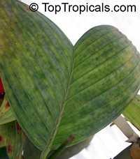 Pinanga disticha - Dwarf Setiu Butterfly  Click to see full-size image