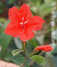 Ruellia affinis, Red Ruellia, Flower of Caipora