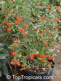 Rondeletia odorata, Rondeletia speciosa, Rondeletia coccinea, Panama Rose  Click to see full-size image