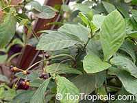 Psychotria viridis, Chacruna, Amiruca Panga, Sami Ruca, Reinha, Folha, Chacrona  Click to see full-size image
