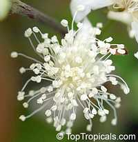 Eugenia stipitata, Araza, Araca-boi  Click to see full-size image