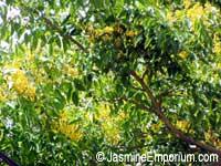 Pterocarpus macrocarpus - Gum-Kino Tree  Click to see full-size image