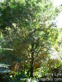 Podocarpus elatus, Plum Pine, Australian plum  Click to see full-size image