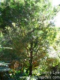 Podocarpus elatus, Plum Pine, Australian plumClick to see full-size image