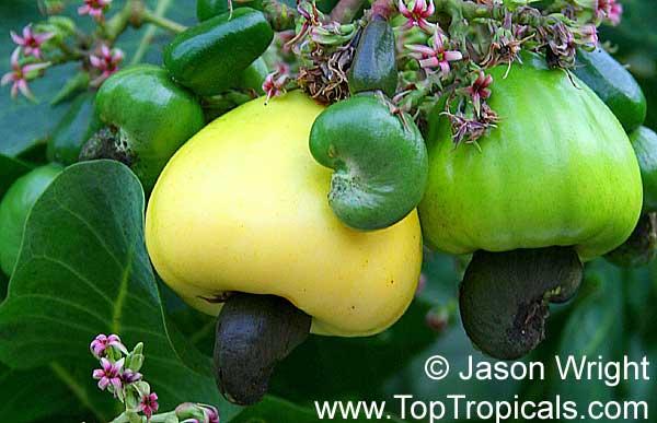 腰果的果實