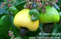 Anacardium occidentale, Cashew Nut, Cashew Apple, Caju  Click to see full-size image