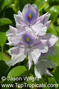 Eichhornia crassipes, Water Hyacinth