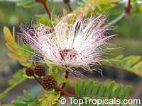 Calliandra surinamensis, Surinam Powder Puff, Pink Powder Puff, Surinamese Stickpea, Officiers-kwast  Click to see full-size image