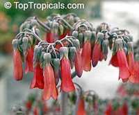 Kalanchoe delagoensis, Kalanchoe tubiflora, Bryophyllum tubiflorum, Bryophyllum verticillatum, Chandelier plantClick to see full-size image