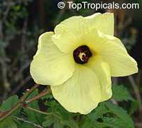 Abelmoschus esculentus, Hibiscus esculentus, Okra, Bamia, Gombo  Click to see full-size image