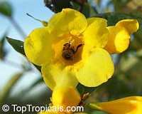 Gelsemium sempervirens, Yellow Jessamine, Carolina Jasmine, Yellow jessamine, Trumpet FlowerClick to see full-size image