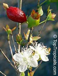 Eugenia aggregata, Cherry of the Rio Grande, Cere Jodo Rio Grande