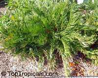 Zamia integrifolia, Zamia floridana, Coontie, Coontie Palm, Koonti  Click to see full-size image