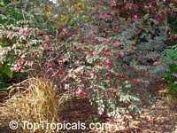 Loropetalum chinense, Dwarf Loropetalum  Click to see full-size image