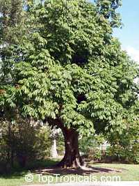 Pachira aquatica, Bombax glabrum, French Peanut, Malabar Chesnut, Guiana Chestnut, Provision Tree, Money Tree 
