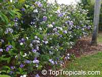 Brunfelsia grandiflora, Yesterday -Today -Tomorrow, Kiss-me-quick, Royal Purple Brunfelsia  Click to see full-size image