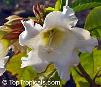 Beaumontia murtonii, Easter Lily Vine, Heralds Trumpet, Nepal Trumpet Flower