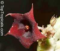 Huernia sp., Huernia  Click to see full-size image
