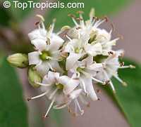 Cordia rupicola, Varronia rupicola, Puerto Rico Manjack, Cliff Manjack  Click to see full-size image