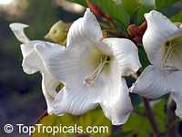 Beaumontia murtonii, Easter Lily Vine, Heralds Trumpet, Nepal Trumpet Flower  Click to see full-size image
