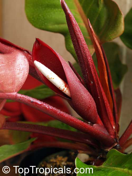 "Philodendron sp. ""Prince of Orange"", Philodenron sp ..."