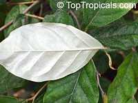 Elaeagnus latifolia, Elaeagnus infundibularis, Bastard Oleaster  Click to see full-size image