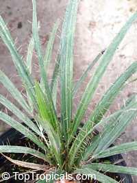 Gastrococos crispa, Acrocomia armentalis, Acrocomia crispa, Cuban Belly Palm, Corojo Palm, Acrocomia  Click to see full-size image