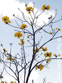 Handroanthus chrysotrichus, Tabebuia chrysotricha, Tabebuia chrysantha, Dwarf Golden TabebuiaClick to see full-size image