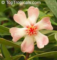 Clusia orthoneura, Clusia Braziliana, Brazilian Clusia, Porcelain Flower