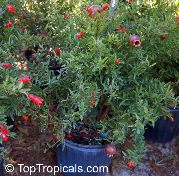 punica granatum nana, dwarf pomegranate  toptropicals, Natural flower