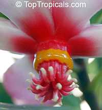 Clusia orthoneura, Clusia Braziliana, Brazilian Clusia, Porcelain Flower  Click to see full-size image