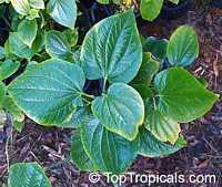 Piper sarmentosum, Chaa-plu, Vietnamese Pepper, Lalot, La Lot  Click to see full-size image